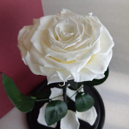 белая роза в колбе купить киев украина