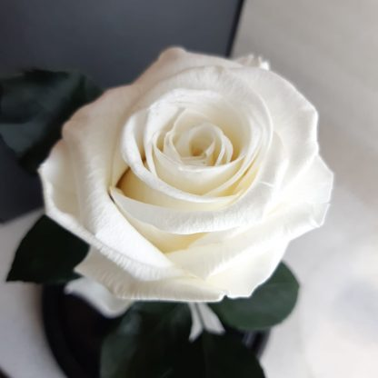 біла троянда у колбі купити київ