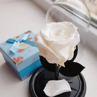 белая вечная роза в колбе