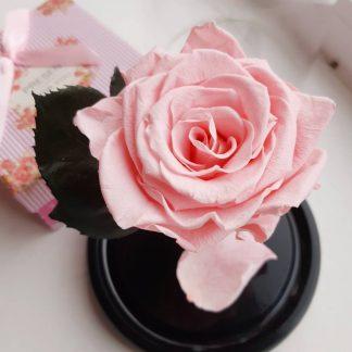 рожева троянда