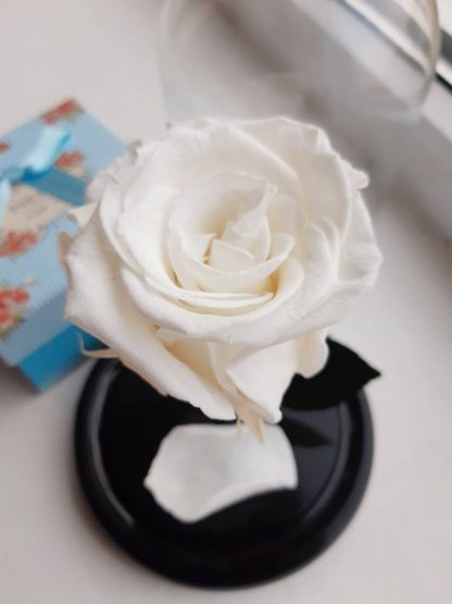 біла троянда у колбі