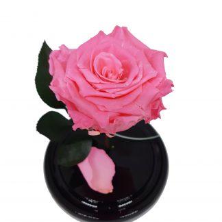 рожева троянда у колбі