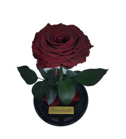 бордовая роза в колбе королевского размера