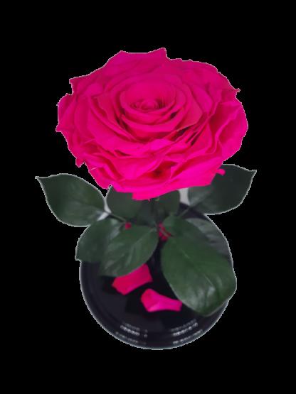 малиновая вип роза в колбе